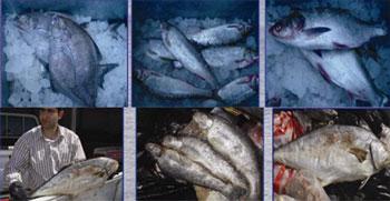 ویژگی های ماهی تازه و ماهی کهنه و فاسد