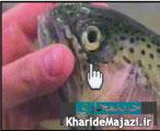 راهنمای تصویری طرز تشخیص ماهی سالم و فاسد