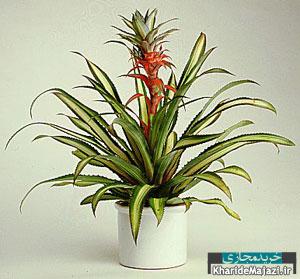 آشنایی با گل آپارتمانی آناناس
