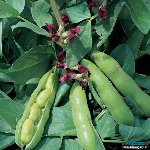 آشنایی با گیاه باقلا