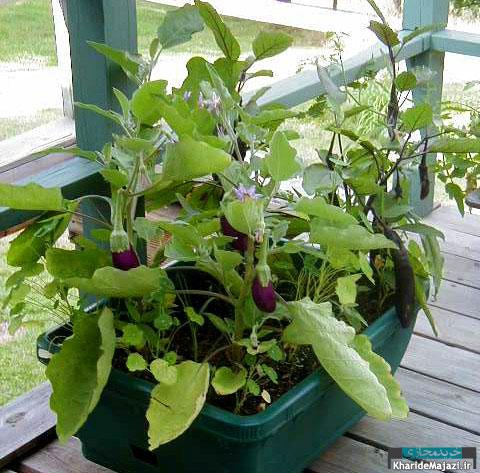 آشنایی با گیاه بادنجان
