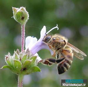 مقاله جامع معرفی زنبور عسل