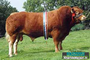 معرفی نژادهای غیر مشهور گاو گوشتی